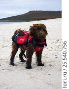 Domestic dog, with lifejacket on a beach. Maisie (3/4 Tibettan Terrier, 1/4 Cocker Spaniel) Стоковое фото, фотограф Merryn Thomas / Nature Picture Library / Фотобанк Лори