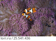 Clown anemonefish (Amphiprion percula). and Domino damselfish living in anemone, a symbiotic relationship. Papua New Guinea, tropical Indo-Pacific Ocean. NOT FOR SALE IN THE USA. Стоковое фото, фотограф Brandon Cole / Nature Picture Library / Фотобанк Лори
