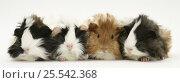 Купить «Four young Guinea-pigs.», фото № 25542368, снято 18 октября 2019 г. (c) Nature Picture Library / Фотобанк Лори