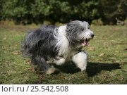 Купить «Bearded Collie bitch, Ellie, running.», фото № 25542508, снято 27 апреля 2018 г. (c) Nature Picture Library / Фотобанк Лори