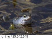 Blue / Moor frog (Rana arvalis) Central Russia, April 2007. Стоковое фото, фотограф Konstantin Mikhailov / Nature Picture Library / Фотобанк Лори
