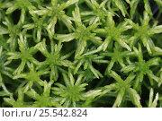 Купить «Green mosses, Russky Sever NP, Vologda Oblast, N Russia, October 2008», фото № 25542824, снято 22 августа 2018 г. (c) Nature Picture Library / Фотобанк Лори
