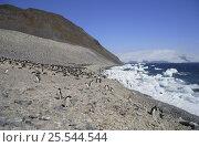 Купить «Adélie Penguin (Pygoscelis adeliae) colony. Paulet Is, Antarctica», фото № 25544544, снято 3 июля 2020 г. (c) Nature Picture Library / Фотобанк Лори