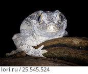 Купить «New caledonia bumpy gecko / Gargoyle gecko {Rhacodactylus auriculatus} portrait, New caledonia», фото № 25545524, снято 22 ноября 2017 г. (c) Nature Picture Library / Фотобанк Лори