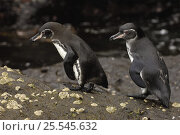 Купить «Galapagos penguins (Spheniscus mendiculus) Isabela Is, Galapagos», фото № 25545632, снято 25 апреля 2019 г. (c) Nature Picture Library / Фотобанк Лори