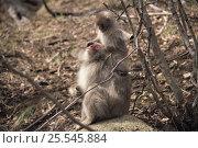 Купить «Japanese Macaque {Macaca fuscata} parent and young, Shimokita, Aomori, Japan», фото № 25545884, снято 24 марта 2019 г. (c) Nature Picture Library / Фотобанк Лори