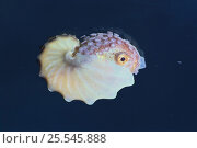Купить «Winged argonaut / Brown Paper Nautilus {Argonauta hians} female with shell, Japan», фото № 25545888, снято 23 января 2019 г. (c) Nature Picture Library / Фотобанк Лори