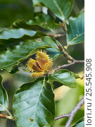 Japanese Beech seeds / mast {Fagus crenata} Yamagata, Japan. Стоковое фото, фотограф Nature Production / Nature Picture Library / Фотобанк Лори