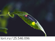 Купить «Japanese / Genji firefly {Luciola cruciata} female glowing, Japan», фото № 25546096, снято 16 июля 2018 г. (c) Nature Picture Library / Фотобанк Лори