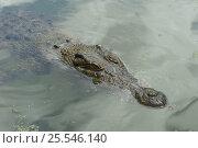 Saltwater crocodile (Crocodylus porosus) at water surface, Queensland... Стоковое фото, фотограф Jurgen Freund / Nature Picture Library / Фотобанк Лори