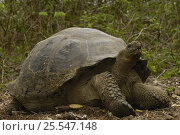 Купить «Galapagos giant tortoise (Geochelone elephantopus) Highlands, Santa Cruz Island, Galapagos Islands, South America», фото № 25547148, снято 16 февраля 2019 г. (c) Nature Picture Library / Фотобанк Лори