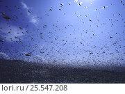 Купить «Migratory Locust {Locusta migratoria} infestation, flying in a swarm, Kagoshima, Japan», фото № 25547208, снято 15 декабря 2017 г. (c) Nature Picture Library / Фотобанк Лори