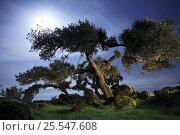 Holm oak {Quercus ilex} at night, Las Hurdes, Caceres, Extremadura, Spain. Стоковое фото, фотограф Jose B. Ruiz / Nature Picture Library / Фотобанк Лори