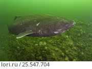 Greenland sleeper shark (Somniosus microcephalus) St. Lawrence River estuary, Canada NB: this shark was wild and unrestrained. Стоковое фото, фотограф Doug Perrine / Nature Picture Library / Фотобанк Лори