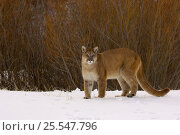 Cougar / Mountain Lion / Puma {Felis concolor} in snow, captive, Montana, USA. Стоковое фото, фотограф Dave Watts / Nature Picture Library / Фотобанк Лори