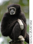 White-handed gibbon {Hylobates lar} sitting on post, captive, France.  Occurs South East Asia. Стоковое фото, фотограф Eric Baccega / Nature Picture Library / Фотобанк Лори