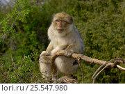 Купить «Barbary macaque / ape {Macaca sylvanus} captive», фото № 25547980, снято 18 октября 2019 г. (c) Nature Picture Library / Фотобанк Лори