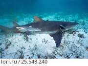 Купить «Newborn Lemon shark pup swims away from mother {Negaprion brevirostris} Bahamas, Caribbean  (Non-ex).», фото № 25548240, снято 22 января 2019 г. (c) Nature Picture Library / Фотобанк Лори