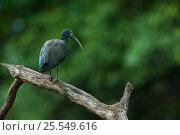 Купить «Green ibis (Mesembrinibis cayennensis) in rainforest, Rewa River, Iwokrama Reserve, Guyana», фото № 25549616, снято 20 марта 2019 г. (c) Nature Picture Library / Фотобанк Лори