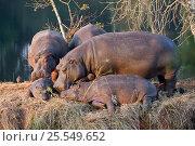 Hippopotamus (Hippopotamus amphibius) Mlilwane Wildlife Sanctuary, Swaziland Endangered / threatened species. Стоковое фото, фотограф Mark Carwardine / Nature Picture Library / Фотобанк Лори