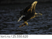 Купить «White tailed sea eagle {Haliaeetus albicilla} flying up from water with fish in claws, Flatanger, Nord-Trondelag, Norway, August», фото № 25550620, снято 17 декабря 2018 г. (c) Nature Picture Library / Фотобанк Лори