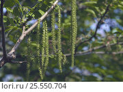 Japanese Walnut staminate flowers {Juglans  ailantifolia} Japan. Стоковое фото, фотограф Nature Production / Nature Picture Library / Фотобанк Лори