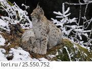 Купить «Eurasian lynx (Lynx lynx) juveniles, Bayerischer Wald National Park, Germany, captive», фото № 25550752, снято 26 февраля 2020 г. (c) Nature Picture Library / Фотобанк Лори