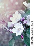 Цветы яблони крупным планом в винтажных тонах, фото № 25551604, снято 17 мая 2016 г. (c) Зезелина Марина / Фотобанк Лори
