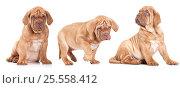 Купить «Three French Mastiff puppies», фото № 25558412, снято 23 марта 2014 г. (c) Алексей Кузнецов / Фотобанк Лори