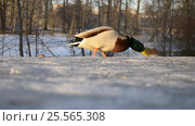 Купить «Селезень в зимнем парке», видеоролик № 25565308, снято 15 февраля 2017 г. (c) Румянцева Наталия / Фотобанк Лори