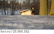 Купить «Селезень в зимнем парке», видеоролик № 25565332, снято 15 февраля 2017 г. (c) Румянцева Наталия / Фотобанк Лори