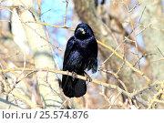 Купить «Большой черный ворон сидит на ветке в парке», фото № 25574876, снято 9 февраля 2017 г. (c) Rospoint / Фотобанк Лори