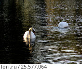 Лебеди на пруду. Стоковое фото, фотограф Елена / Фотобанк Лори