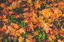 Кленовые листья, фото № 25579364, снято 2 октября 2016 г. (c) Валерий Боярский / Фотобанк Лори