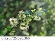 Купить «Spring landscape - yellow fluffy buds of willow», фото № 25580360, снято 5 мая 2016 г. (c) Зезелина Марина / Фотобанк Лори