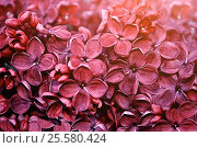 Купить «Spring background - dark red lilac flowers under soft light», фото № 25580424, снято 23 мая 2016 г. (c) Зезелина Марина / Фотобанк Лори