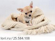 В Тёплом Местечке - Щенок Чихуахуа на белом вязанном шарфе. Стоковое фото, фотограф Артур Лукьянов / Фотобанк Лори