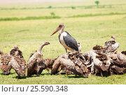 African marabou in the middle of vultures flock. Стоковое фото, фотограф Сергей Новиков / Фотобанк Лори