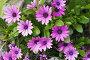 Остеоспермум (лат. Osteospermum), фото № 25592808, снято 5 мая 2016 г. (c) Галина Хорошман / Фотобанк Лори