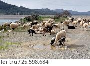 Стадо овец пасется на высокогорном лугу крупным планом. Стоковое фото, фотограф Татьяна Ляпи / Фотобанк Лори