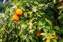 orange fruits in garden, фото № 25599576, снято 13 мая 2016 г. (c) Яков Филимонов / Фотобанк Лори