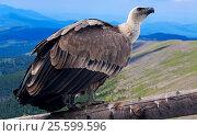 Купить «Griffon vulture against mountains background», фото № 25599596, снято 22 октября 2018 г. (c) Яков Филимонов / Фотобанк Лори