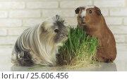Купить «Guinea pigs breed Golden American Crested and Coronet cavy eat germinated oats stock footage video», видеоролик № 25606456, снято 16 января 2017 г. (c) Юлия Машкова / Фотобанк Лори