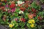 Разноцветные примулы на клумбе, фото № 25606488, снято 11 мая 2015 г. (c) Юлия Бабкина / Фотобанк Лори