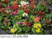 Купить «Разноцветные примулы на клумбе», фото № 25606488, снято 11 мая 2015 г. (c) Юлия Бабкина / Фотобанк Лори