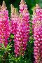 Люпин розовый с зелеными листьями, фото № 25614968, снято 18 июня 2015 г. (c) Резеда Костылева / Фотобанк Лори