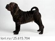 Black wrinkled shar-pei puppy stanging, side view, against white background. Стоковое фото, фотограф Мария Сидельникова / Фотобанк Лори