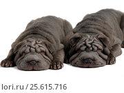 Two grey shar-pei puppies sleeping sweetly, isolated on white background. Стоковое фото, фотограф Мария Сидельникова / Фотобанк Лори
