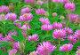 Pink clover flowers, фото № 25622024, снято 17 июля 2016 г. (c) Надежда Нестерова / Фотобанк Лори