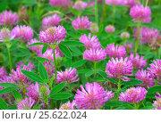 Купить «Pink clover flowers», фото № 25622024, снято 17 июля 2016 г. (c) Надежда Нестерова / Фотобанк Лори